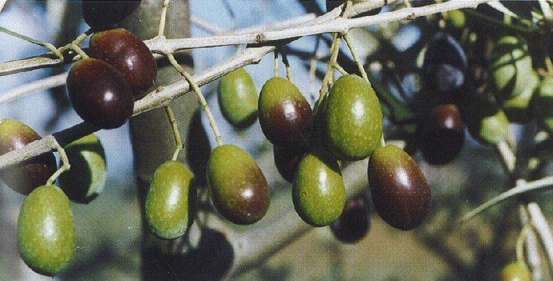 Piante Di Olivo : Taggiasca cultivar olivo