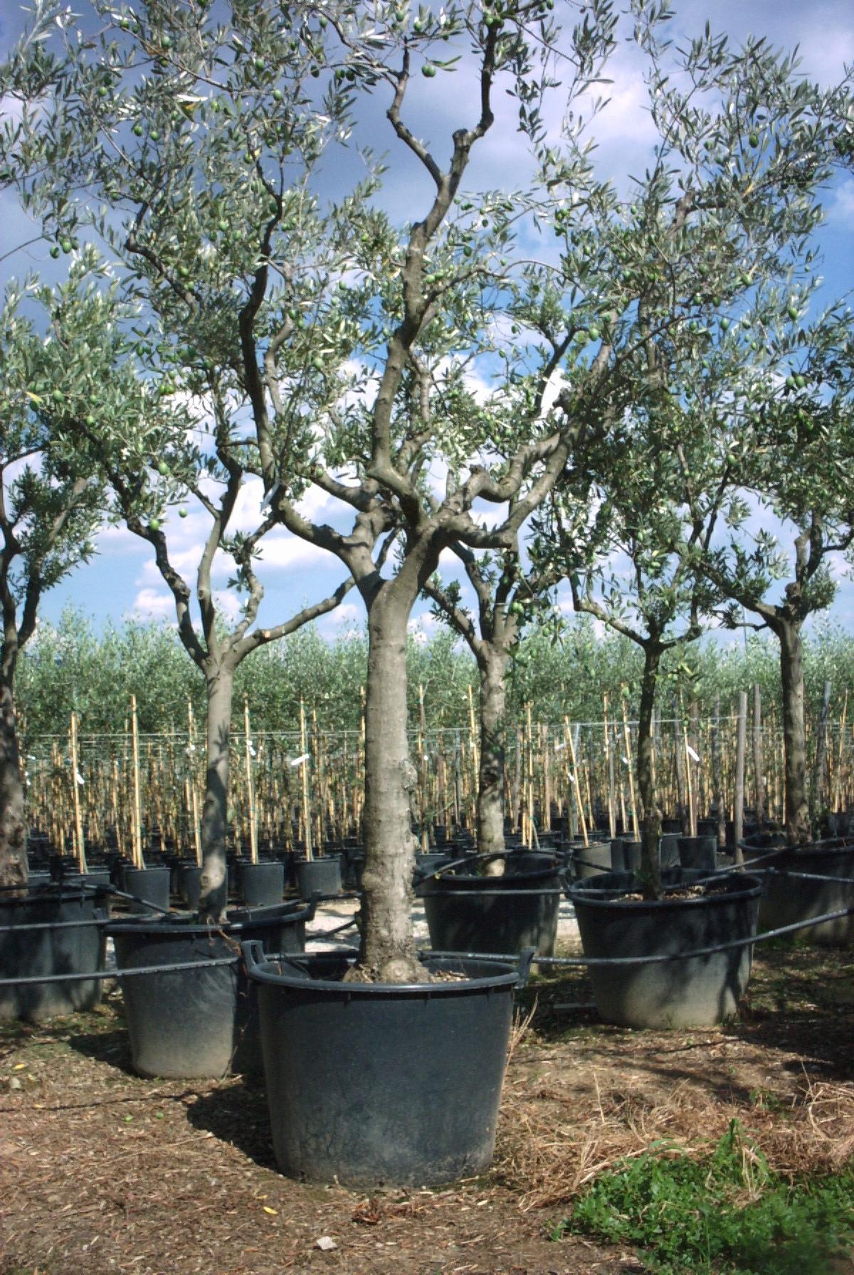 Vendita piante olivo certificato di 10 anni for Vendita piante olivi
