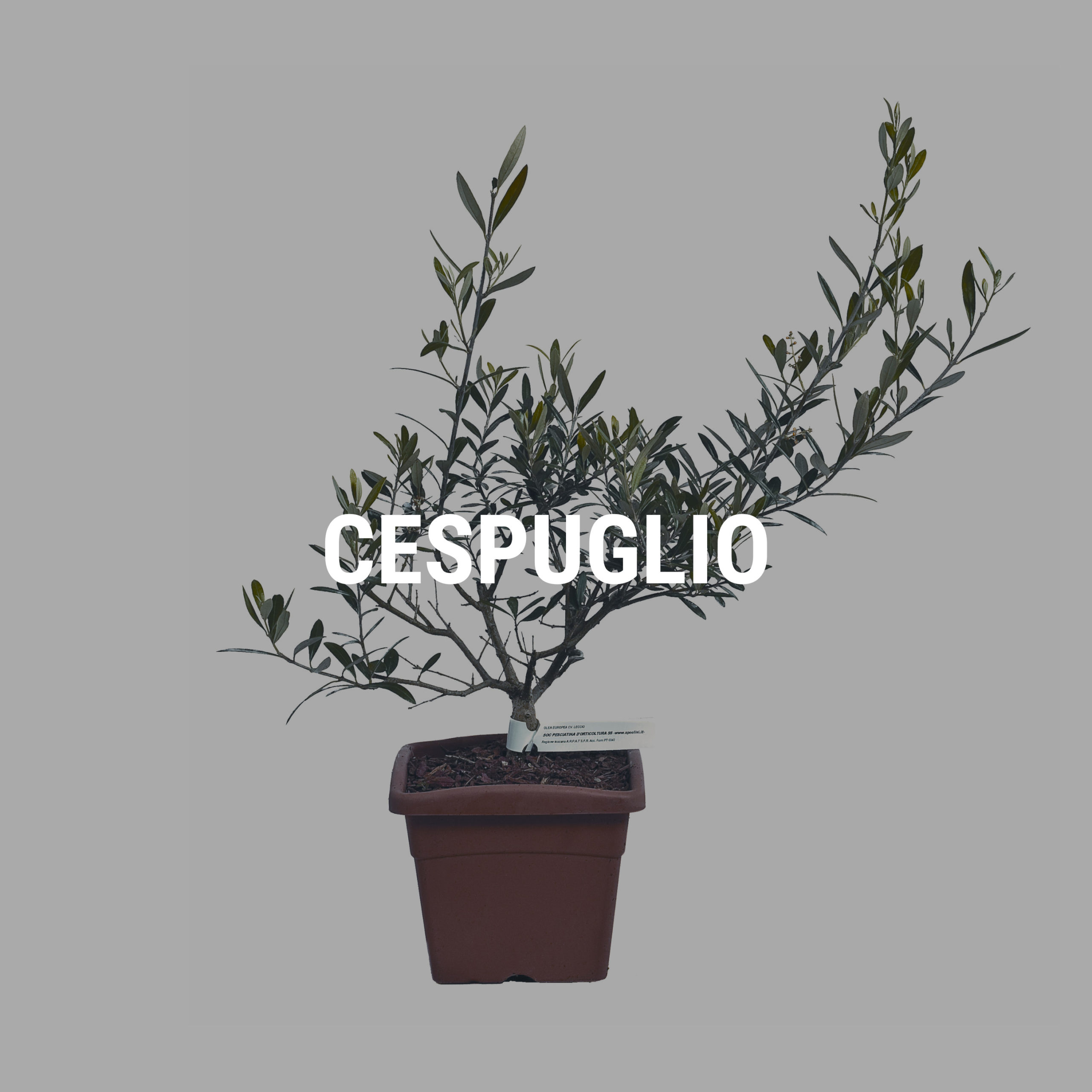 http://www.spoolivi.com/wp-content/uploads/2021/03/cespuglio-2-scaled.jpg